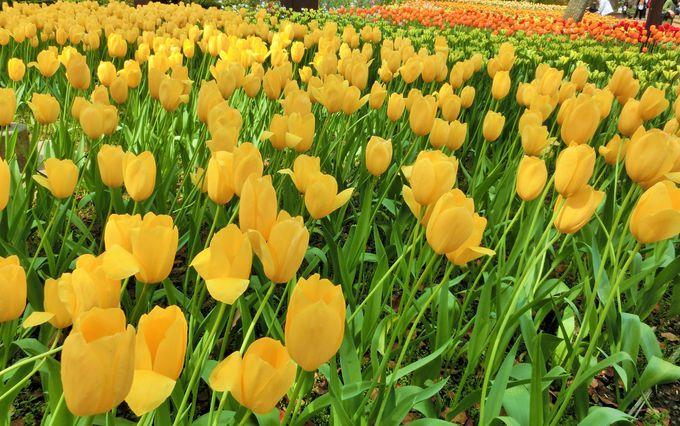 「横浜公園」のみごとなチューリップ