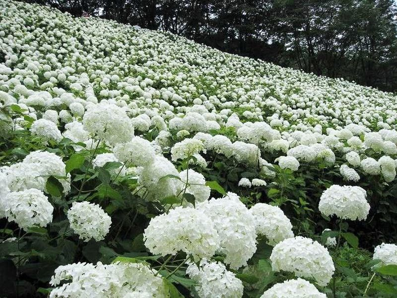7月に雪!?東京サマーランドの紫陽花「アナベルの雪山」が純白で美しい