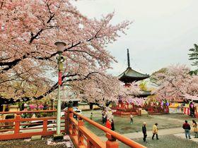 川越のおすすめ桜スポット7選 美しい春の小江戸