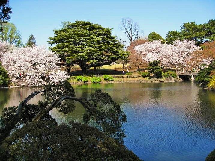 美しすぎる!65種類1000本の桜が咲き乱れる新宿御苑の楽しみ方