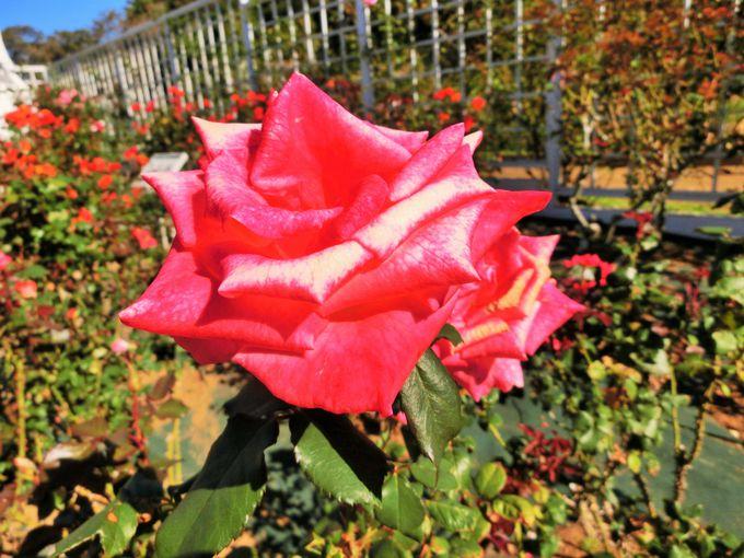 気品が溢れるロイヤルなバラ