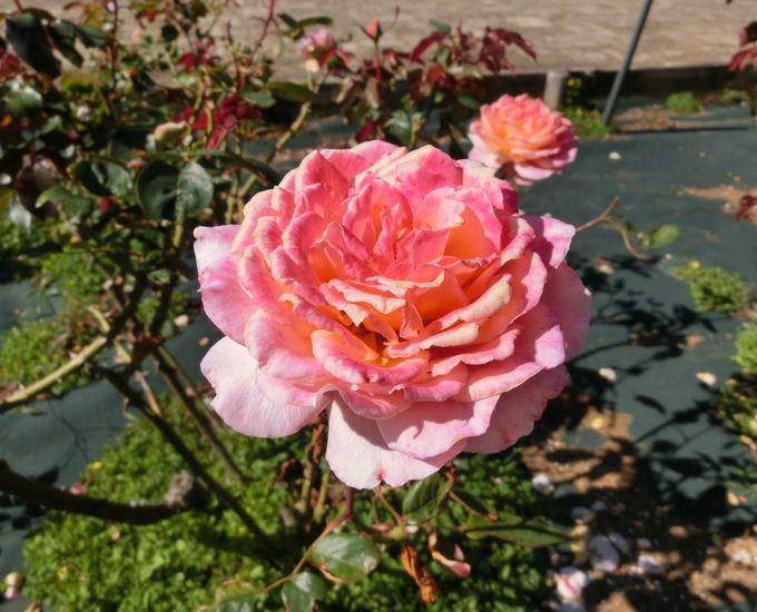 バラの8つの香り