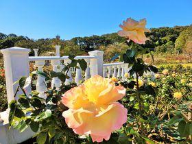 春と秋に公開!秘密の花園「川崎市・生田緑地ばら苑」で香りも楽しむ
