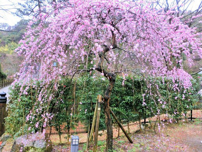 枝垂れ梅にうっとり