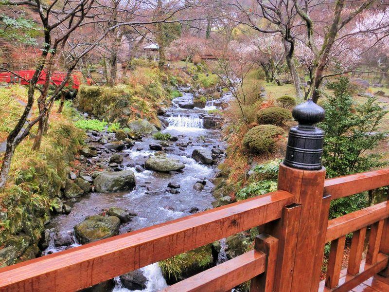 静岡「熱海梅園」日本一早咲きの梅は雨の日だって美しい!