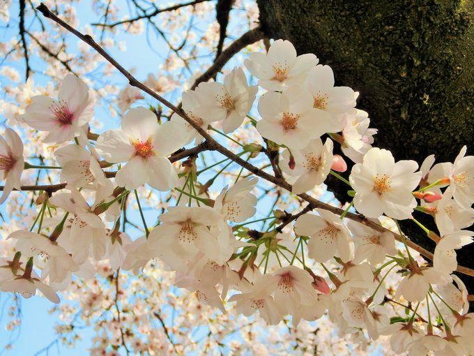 くぐりたい桜のトンネル