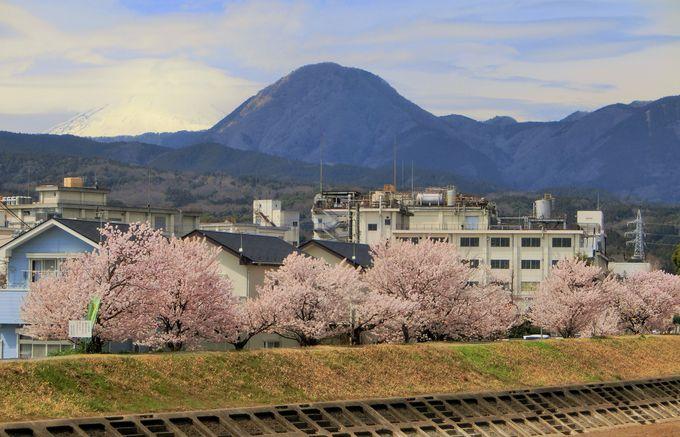桜に菜の花、そして富士山も