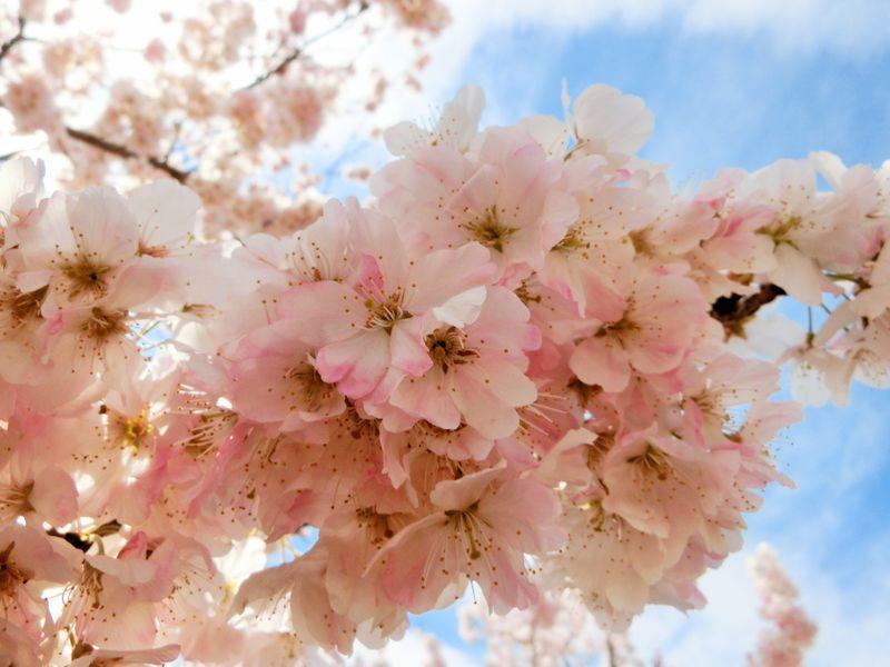 ソメイヨシノより可愛い!?神奈川・南足柄「春めき桜」