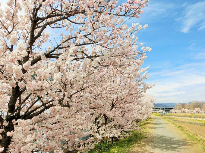 映える春木径の桜