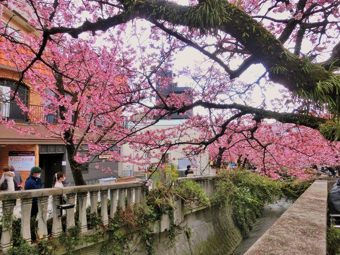 1月から咲くあたみ桜