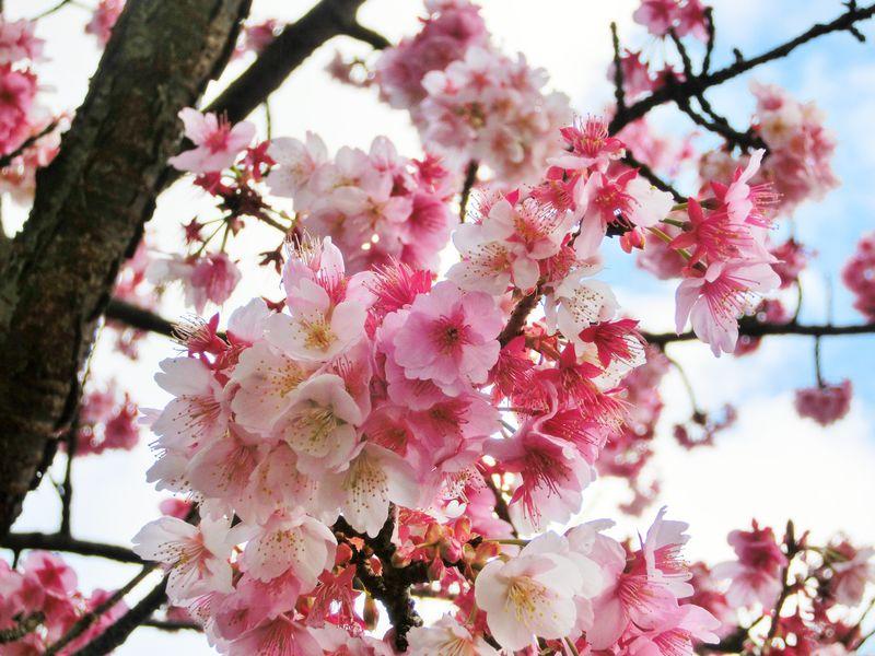 本州で最も早く咲く桜!熱海・糸川「あたみ桜」で春の散策を