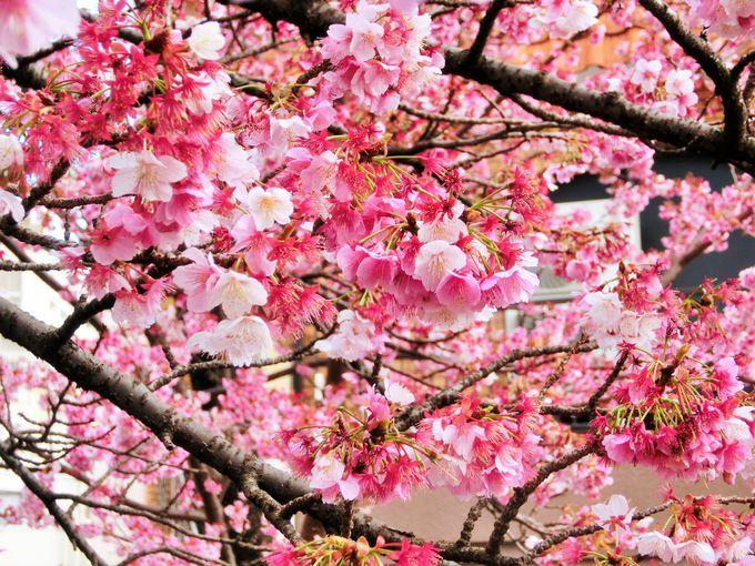 糸川沿いが桜色に染まる