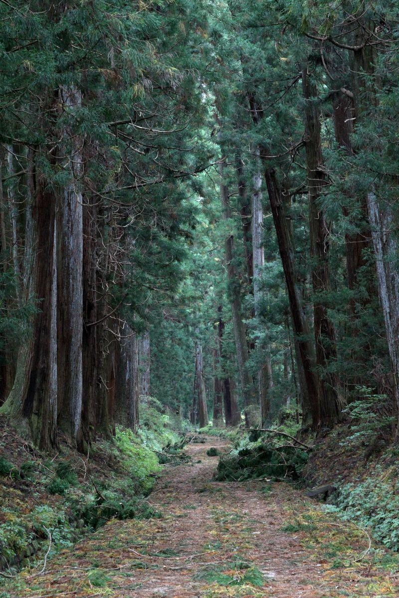 ギネスブックも認める世界一の杉...