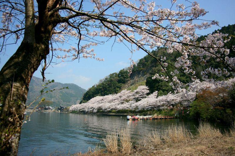 やっぱり凄い、海津大崎の桜回廊
