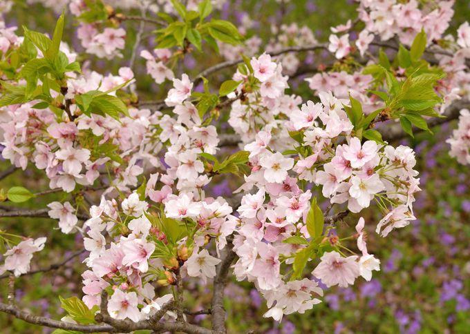 衣通姫(そとおりひめ)という、絶世の美女の名がついた、豪華な桜で春本番を味わおう