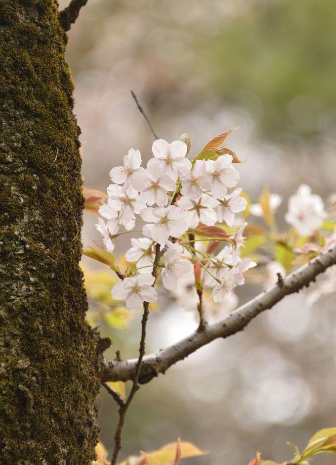 「小金井薄紅桜」は稀少な桜! 公園内にある、日本で唯一の原木を見に行こう!