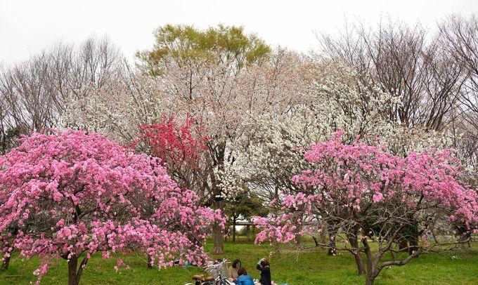 豪華な桜の脇に可憐に咲くハナモモもまた格別の趣。開花が長く、遅めの花見の救世主。