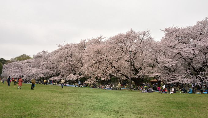 園内約1700本の桜のうち、メインのソメイヨシノは「桜の園」に集中的に400本余り。
