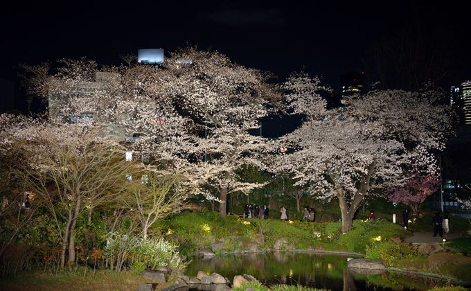 六本木ヒルズ地区の毛利庭園は、散策と遠景の2通りの見物が楽しめる夜桜スポット