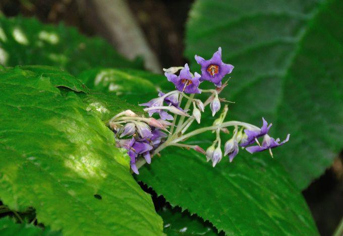 鎌倉の初夏の花は紫陽花だけではない。東慶寺に可憐な紫色の「いわたばこ」を見に行こう