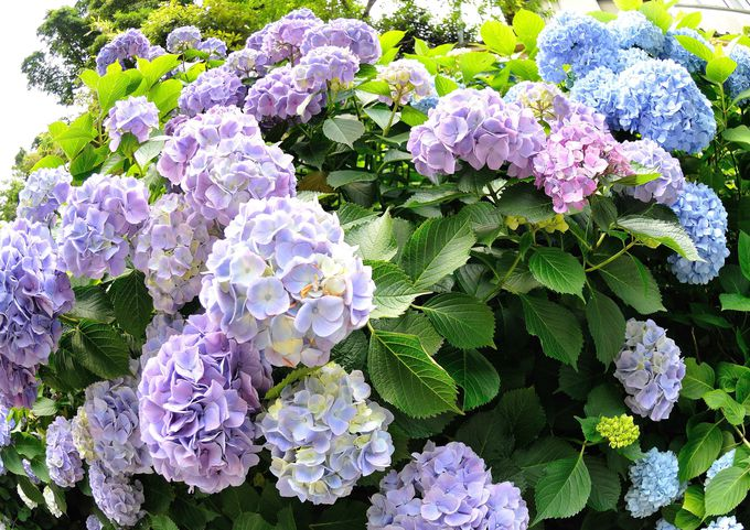 最初の話題は堅い歴史話より綺麗な紫陽花!(笑) 成就院での紫陽花見物のポイントを紹介