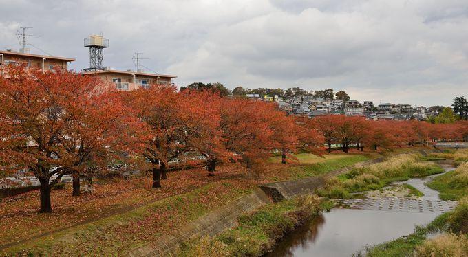 南浅川沿いの桜並木の紅葉も見事。少し遠いけど頑張って歩こう