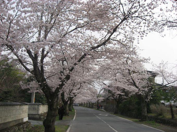 <お勧めその1>桜のトンネル「北桜通り」