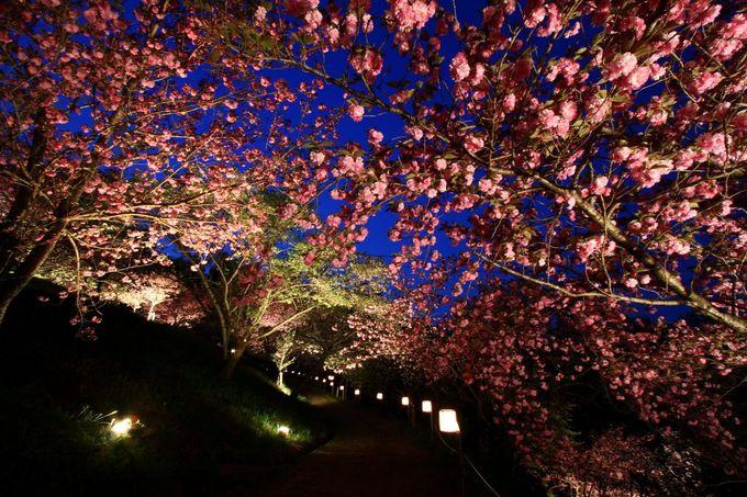 31種のヤエザクラが色とりどりに咲く通り抜けの夜桜「埼玉・長瀞」