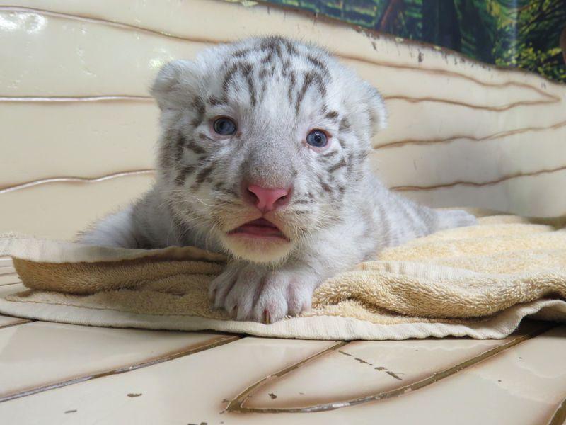 ふわふわ!ホワイトタイガーの赤ちゃんを抱っこ「群馬サファリパーク」