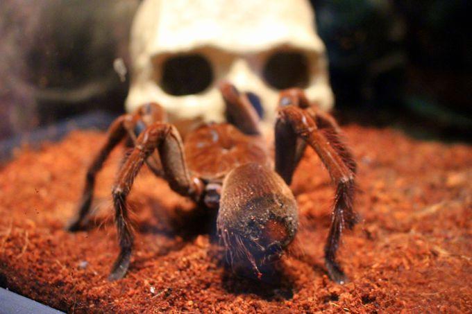 世界最大級のやばいクモ!「ゴライアスバードイーター」