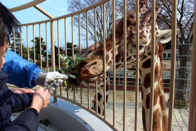 エサやり体験もできる!迫力満点で人気の動物園「かみね動物園」