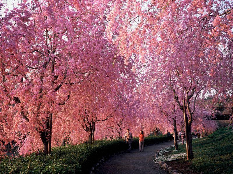 しだれ桜のトンネルは感動モノ!茨城「常陸風土記の丘」でお花見!夜桜のライトアップも!