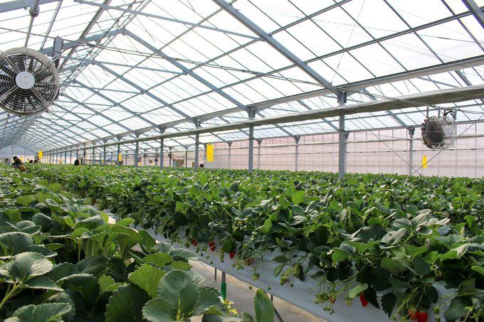 綺麗で清潔、食べやすい高設栽培