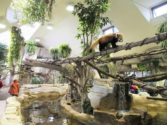 「アジアの森」でレッサーパンダに癒される!