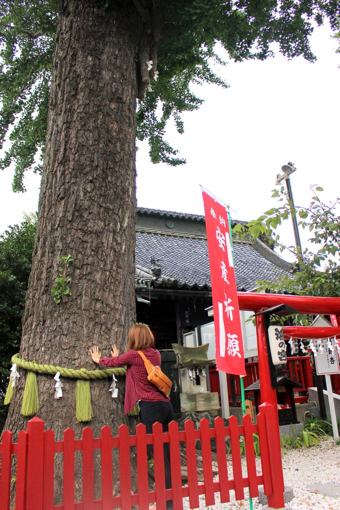 子授けのお守りと夫婦銀杏(めおといちょう)の木
