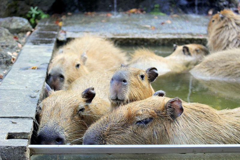 ギュウギュウで入浴中!埼玉県こども動物自然公園「カピバラ温泉」が面白い!