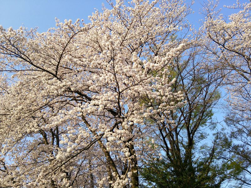 春は桜の名所
