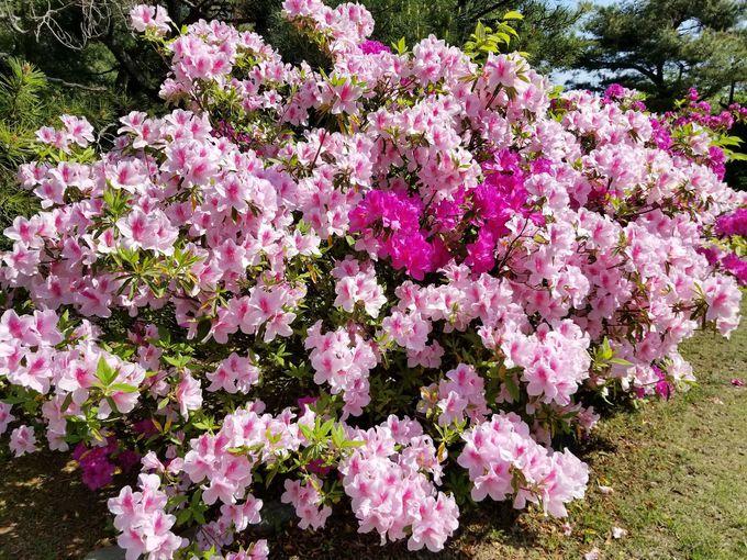 公園内「花木園」のツツジ