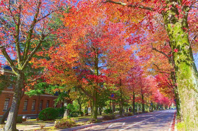 「アメリカ楓通り」と市内近郊の「河北潟 メタセコイア並木路」