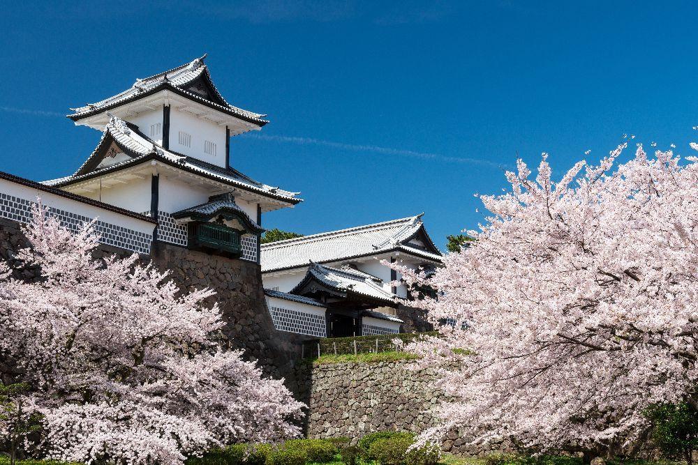 金沢城公園が桜色の彩りに