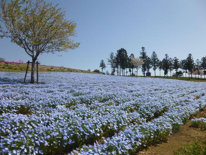 「見晴らしの丘」はネモフィラの青。空へと続く一面の青は爽快。