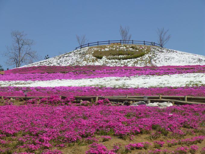 「憩いの丘」は芝桜。ピンクと白の共演が華やか。