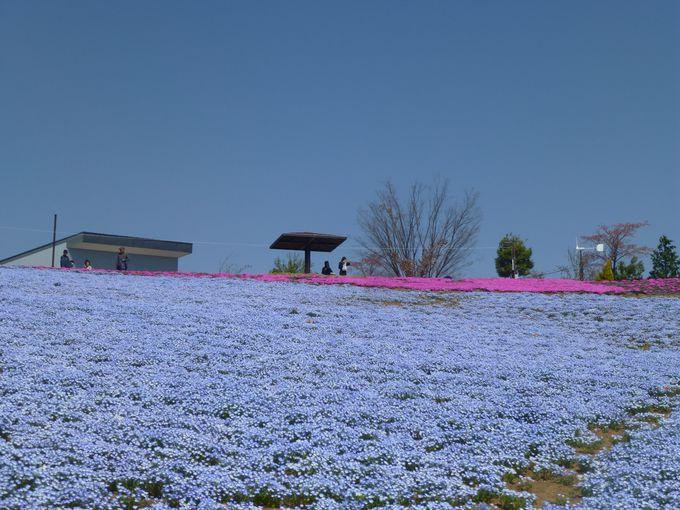 ネモフィラと芝桜はGWが見頃。後にはツツジが続きます。