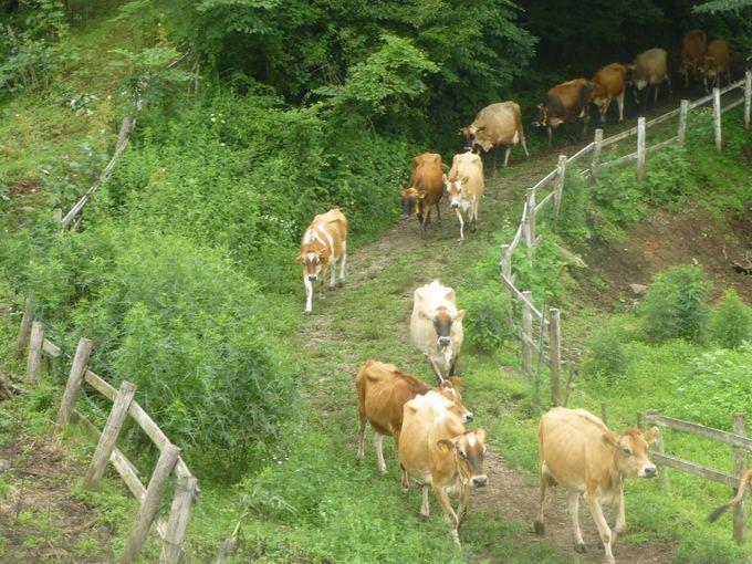 ジャージー牛の大行列に興奮!「神津牧場」
