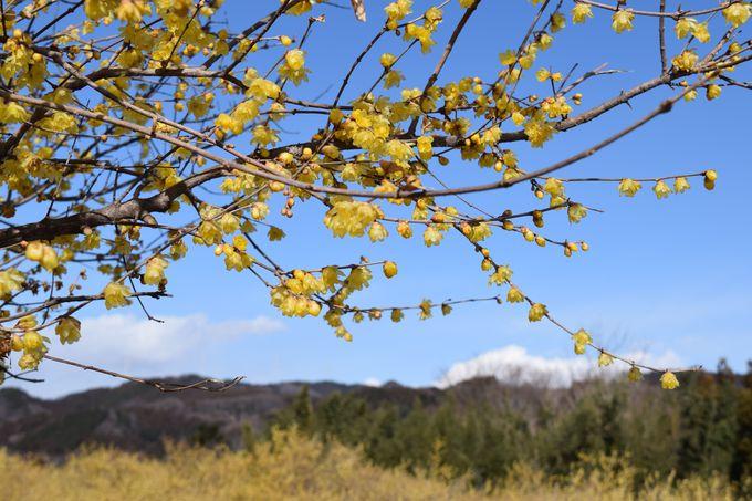 咲き誇る、鮮やかな黄色の花。見頃は12月〜2月