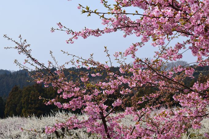 遊歩道では、河津桜も美しい