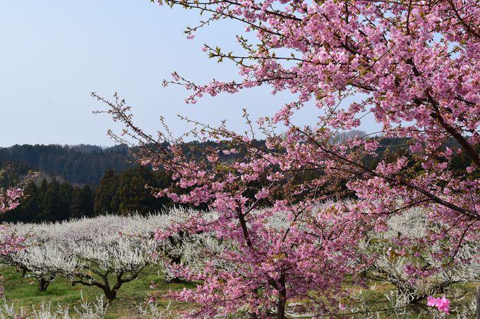紅梅や河津桜も美しい。高崎市「箕郷梅林」