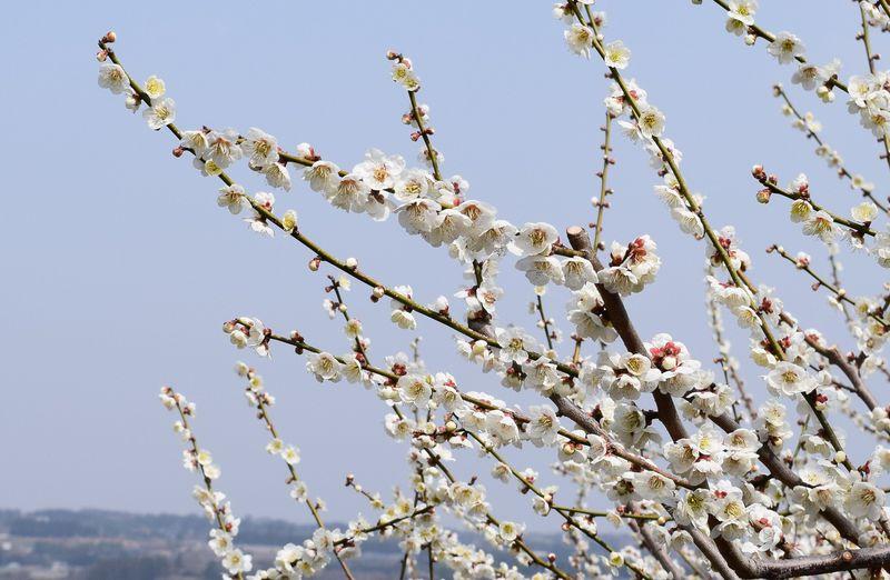 春のドライブ観光!ぐんま三大梅林と温泉を巡るモデルコース