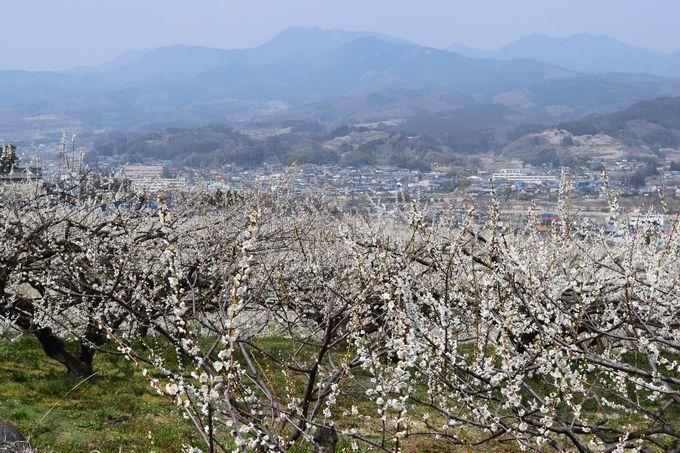 上州の山々とのコラボは壮観。高崎市「榛名梅林」