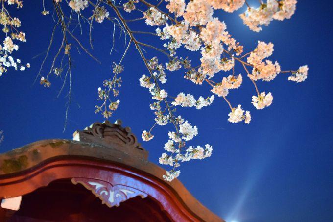 日が落ちたら、夜桜のライトアップがスタート